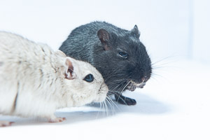 Dartmoor Photographer - How to Take Better Photos of your Pet Gerbils